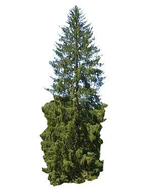 RWS 1 Kg de semilla de abeto -Gemeine (Picea abies)
