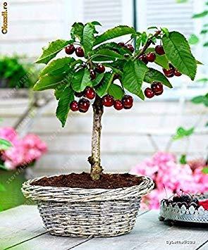 ASTONISH Erstaunen SEEDS: 4 Art Früchte, Bonsai-Obstbaum-Samen, Gemüse und Obst Samen Kiwi Kirsche Orange insgesamt mehr als 100 Samen Non-GMO Gartenpflanze 10 Kirschkerne