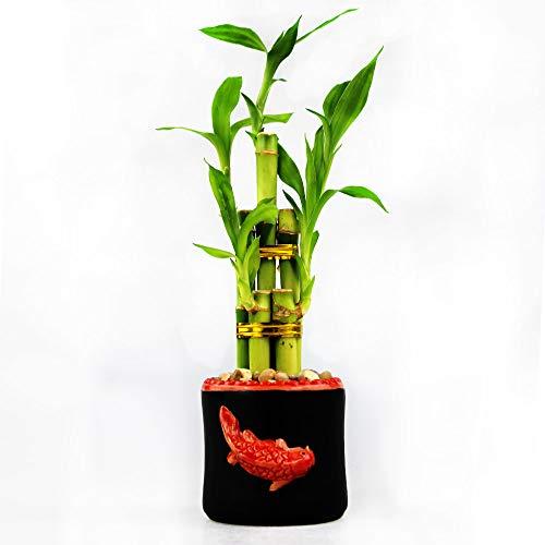 Live Lucky Bamboo 5 Stalk Arrangement with Black Ceramic Koi Vase Planter - Lucky Bamboo Stalks Indoor House Plant for Good Luck, Fortune, Feng Shui and Zen Gardens (1)