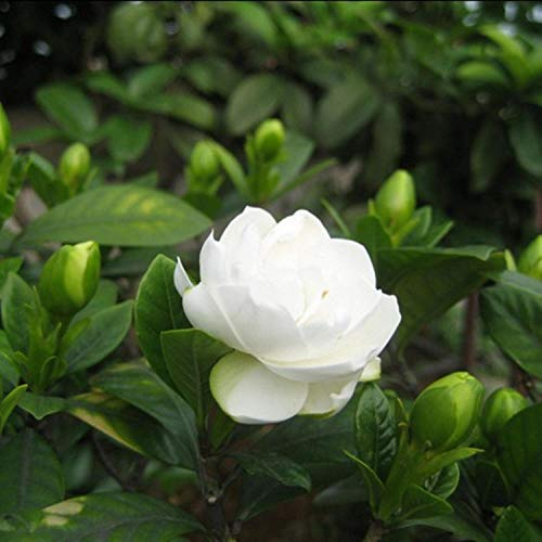 Plantas Coloridas Semillas,Gardenia jasminoides Semillas, Semillas de Gardenia jazmín en maceta-50 cápsulas,Ornamentales para balcón, Jardín