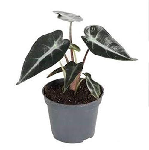 Elefantenohr-Alokasie 'Curly Bambino' 20 cm - Alocasia - Zimmerpflanze