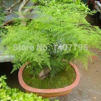 Paquet original 6 particules Asparagus setaceus Graines mini-graines d'arbres bonsaï chance intérieure graines de bambou
