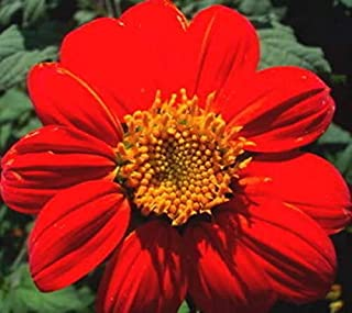 50 RED Mexican Torch Sunflower Tithonia Rotundifolia Red Orange Flower (WFRN) ct Can Grow in Pot