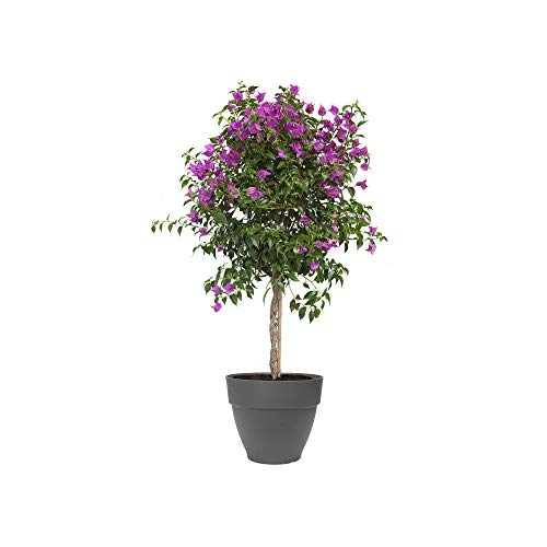 Elho Vibia Campana rond 40 - bloempot - antraciet - buiten - Ø 40 x H 33.4 cm