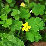 Lucky 200pcs trébol de cuatro hojas de hierba Semillas Decoración crecer su interés suerte Campo semillas de flores DIY propia casa Jardín