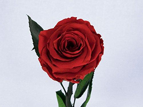 Floréate Rosa Rojo Claro eterna preservada de 25 cm