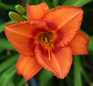 15 Bareroot Mixed Tennessee Grown Daylilies- the BIG Blossom Mix- In Yellow, Red, and Orange