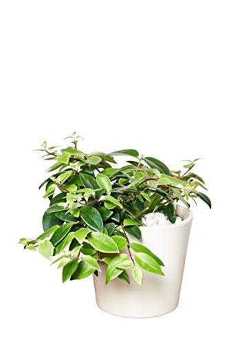 EVRGREEN | Zimmerpflanze Schamblume in Hydrokultur mit cremefarbenem Topf als Set | Aeschynanthus lobbianus