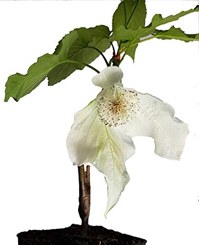 Seedeo® Taschentuchbaum/Frühblühende Sorte 'Sonoma' (Davidia involucrata) Jungpflanze ca. 10-20 cm höhe