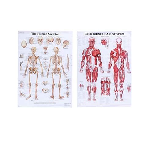Vosarea Póster anatómico del sistema esqueleto muscular 2 piezas imágenes de enseñanza médica 50 x 70 cm