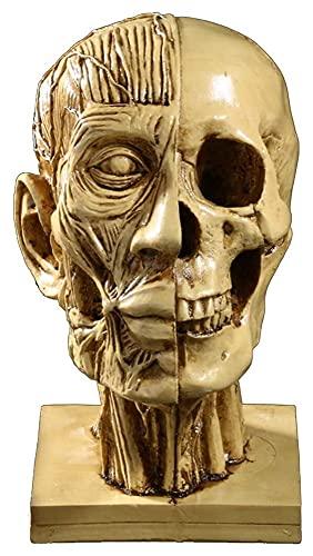 Desktop-Skulptur Menschliche kopf skulptur halb schädel halb muskeln model medizinische lehrer phänomenologie kopfharz handwerk figuren kunst dekorationen