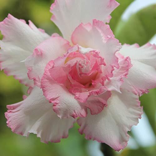 Bulbos De Rosa Del Desierto,Flores En Macetas,Balcones Florecientes,Plantas Perennes,Tolerantes A La SequíA,Flores Exquisitas-1 Bulbo
