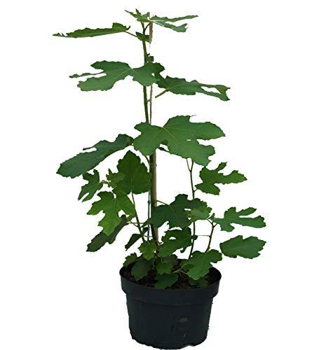 Perretta®, winterfeste Feige, Ficus...