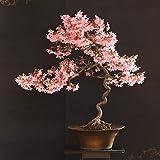 20 Japanese Flowering Cherry Blossom Rare Bonsai Seeds - Pink Flowering Tree, Sakura Bonsai Seeds