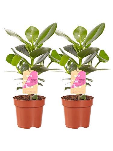 Kamerplanten van Botanicly – 2 × Varkensboom – Hoogte: 35 cm – Clusia Princess
