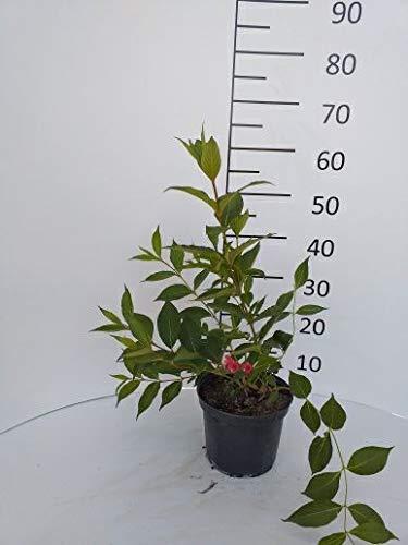 Späth Weigelie 'Eva Rathke' LH 60-100 cm im 3 Liter Topf Heckenpflanze blühend Zierstrauch bienenfreundlich 1 Pflanze