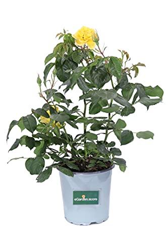 Pianta di Rosa Paesaggistica pianta da esterno pianta da giardino pianta di Rosa ornamentale pianta di Rosa vera venduta da eGarden.store (Gialla)