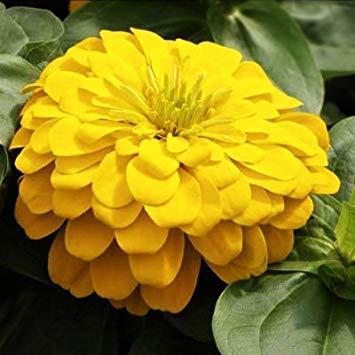 BloomGreen Co. Graines de fleurs: Zinnia elegans Canary Yellow Bird Fleur Graine Graines de plantes exotiques (10 Packets) Jardin Graines de plantes