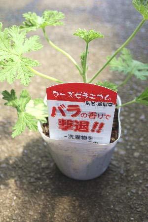 花苗 多年草 蚊取草 ハーブ センテッドゼラニウム ローズゼラニウム ラベル付き3,5号苗