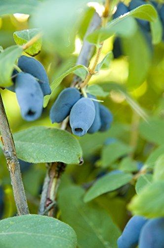 Siberische blauwe bessen - honingbessen - Lonicera kamtsatica Morena - verschillende maten 40cm - 1 ltr.