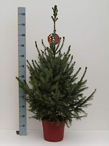 Picea omorika - Serbische Fichte - Omorikafichte als Weihnachtsbaum mit Wurzeln im Dekorationstopf Preis nach Größe und Stückzahl 60-80cm/Einzelpreis