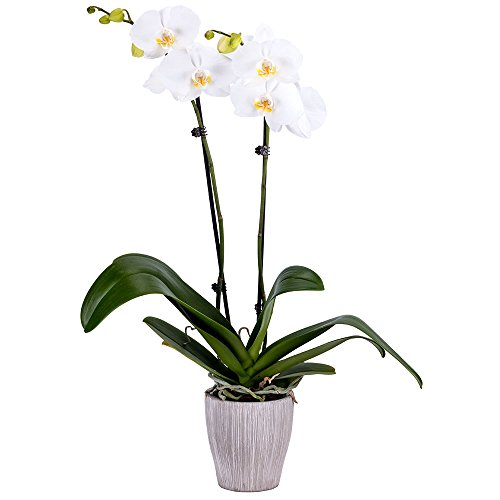 DecoBlooms White Premium Double Stem Orchid, White Phalaenopsis Orchid, ()