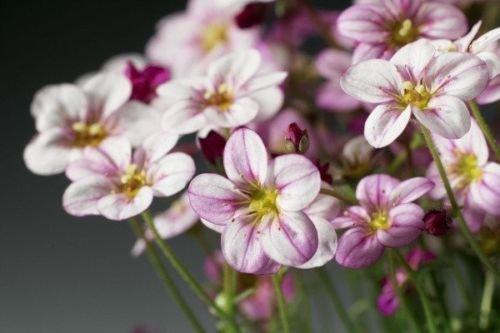 50 graines - Graines Tapis fleurs Saxifraga Highlander Rose Shades Spring Seeds