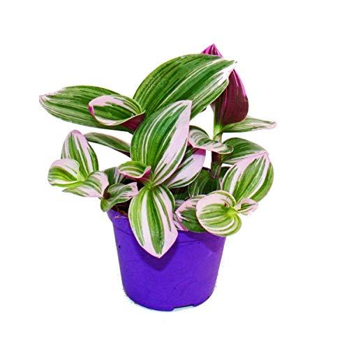 """Exotenherz - Dreimasterblume - Tradescantia""""Nanouk"""" - pflegeleichte hängende Zimmerpflanze - 9cm Topf - pink"""
