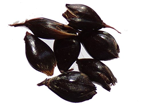 Sorgho Noir - 15 graines - Sorghum - Black Sorghum - SEM11