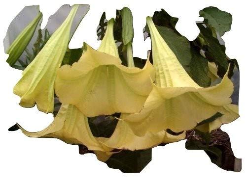 Brugmansia, Engelstrompete, Gelb. Supergrosse Blüten den ganzen Sommer über!! 5 Samen