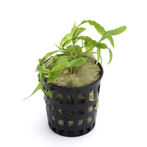 (水草)組織培養 クリプトコリネ ウェンティーグリーン(無農薬)(1ポット)