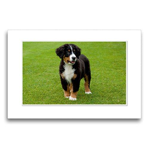 CALVENDO Premium Textil-Leinwand 75 x 50 cm Quer-Format Emotionale Momente: Berner Sennenhund. / CH-Version, Leinwanddruck von Ingo Gerlach