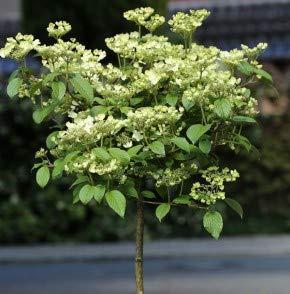 Hochstamm Rosa Pyramiden Schneeball Molly Schroeder 60-80cm - Viburnum plicatum