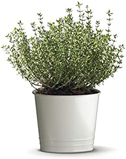 500 Thyme Seeds - Common Thyme, Garden Thyme, Thymus Vulgaris