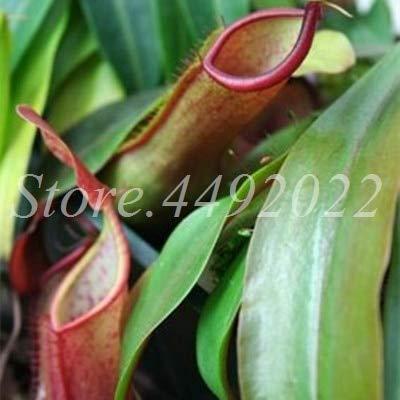 AGROBITS 300 pièces rayées Nepenthes Bonsai Manger moustiques Plantes carnivores Pitcher Tropical Catch Jardin des insectes pour Flower Pot en pot: 21