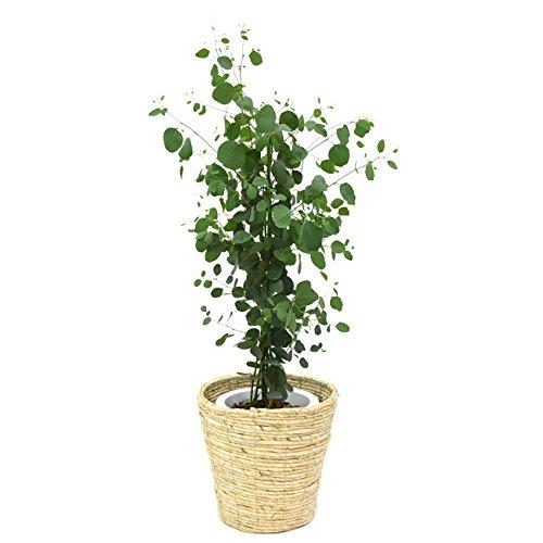 ユーカリ・ポポラス(ポリアンセモス)中型8号 鉢植え 鉢カバー付き(鉢カバーC)