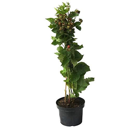 Müllers Grüner Garten Shop Little Black Prince ® kompaktwachsende dornenlose Brombeere ca. 30-40 hoch mit 3 Liter Topfballen