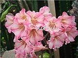 3 PC/bolso rosa del desierto semillas, Semillas Adenium obesum pétalos dobles bonsai s Semillas 100% verdad de semillas en macetas para el jardín de su casa