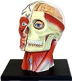 MY-LOVE Modello per lezioni di Anatomia, Modello nervoso dei Muscoli della Testa, 14 Parti Possono Essere rimosse, Realizzato in PVC per Alimenti con Base per Display Nera