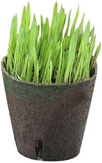 (観葉)長さで選べる ペットグラス 直径8cmECOポット植え(短め)(無農薬)(5ポット) 猫草 本州・四国限定[生体]