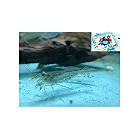 Topbilliger Tiere Amano Garnele Caridina multidentata 2-4 cm 10x