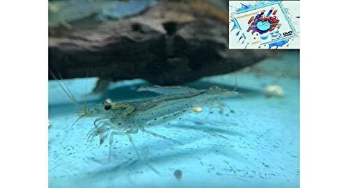 Topbilliger Tiere Amano Garnele Caridina multidentata 2-4 cm 10x und 2 Mooskugeln