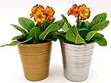 PRIMULA VERIS de tallo naranja, 2 plantas en maceta cerámica oro y plata, plantas auténticas