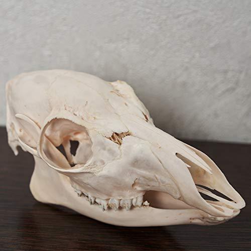 Siberian Musk Deer Female Taxidermy Skull - Musk-Deer Cleaned Skull, Jaws, Bones, Skeleton, Teeth for Sale - Real, Decor, LIFESIZE, Genuine - ST6701