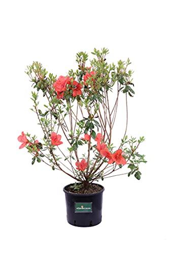 Pianta di Azalea Japonica pianta da esterno pianta da fiore pianta di Azalea Japonica ornamentale pianta vera di Azalea Japonicavenduta da eGarden.store (Aladin Scout - Fiore Arancione)