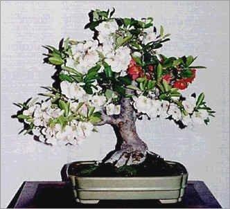 15 semillas Chaenomeles Japonica Seeds (Floración Quince) Bonsai