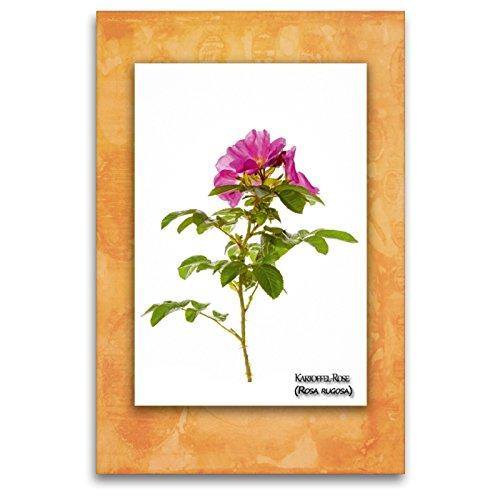 Premium Textil-Leinwand 80 x 120 cm Hoch-Format Kartoffel-Rose (Rosa rugosa) | Wandbild, HD-Bild auf Keilrahmen, Fertigbild auf hochwertigem Vlies, Leinwanddruck von Georg Hanf