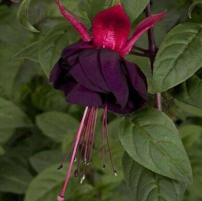 Fuchsia Hybrida Hort Seeds, Bonsai Lantern Fleurs Pour Garden Home 50 graines / sac