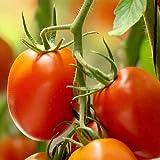 25 semi di pomodororio grande, 100% naturale allevamento/assoluta rarità/massaggiatore ideale per insalata e snack
