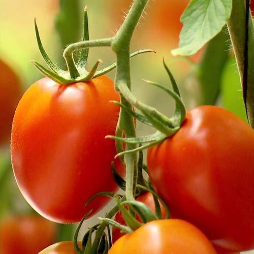 Tomate Rio Grande Lot de 25 graines - du Portugal à faire pousser 100% naturelles, rares, idéales pour salade et snacks